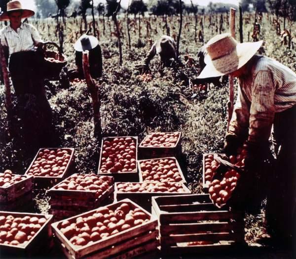 Raccolta del pomodoro nel Parmense negli anni Sessanta del Novecento - Foto