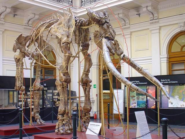 Museo Civico di storia naturale Giacomo Doria di Genova - Antico elefante italico