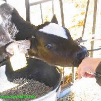 Dar da mangiare alle mucche